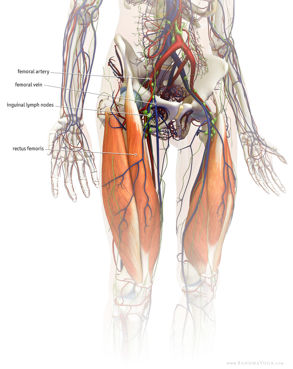 rectus femoris in relation to femoral artery, vein and inguinal lymph nodes