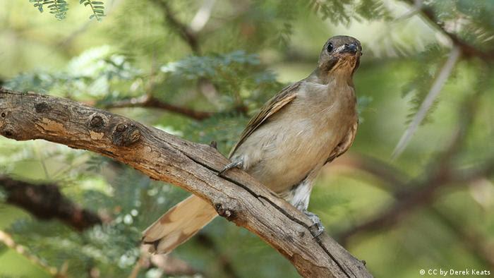 Süafrika Honiganzeiger Vogel