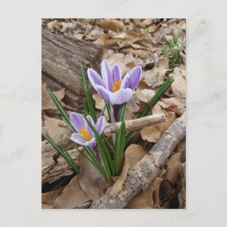 FIRST SPRING FLOWER products postcard