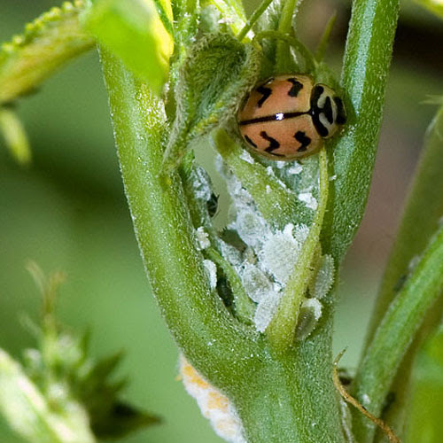 Ladybug(india).jpg