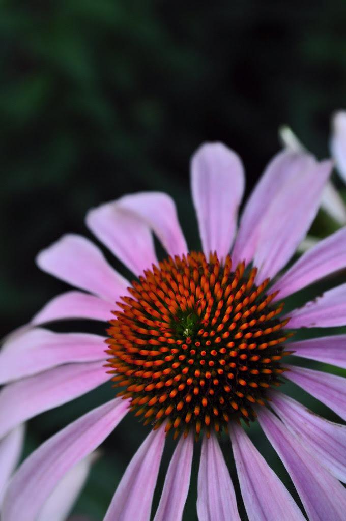 Echinacea purpurea (2)