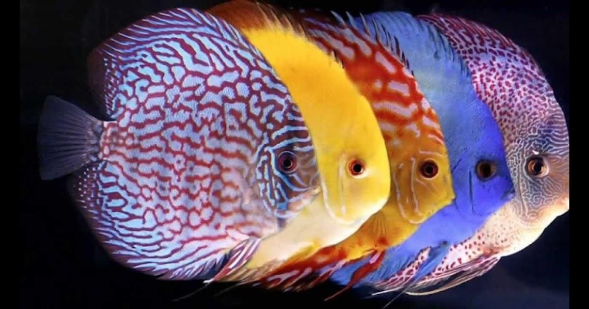 Aquascape Termahal Ikan yang Cocok untuk Aquascape