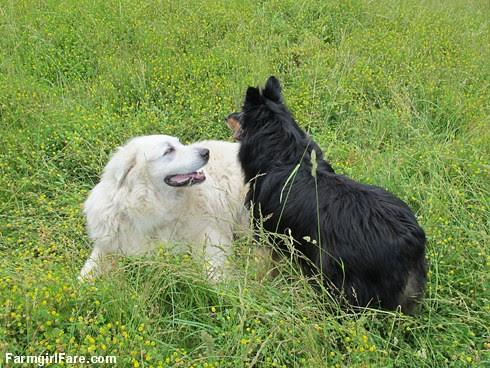 Happy dogs in the front field (2) - FarmgirlFare.com