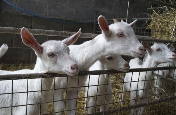 Goats-Steph