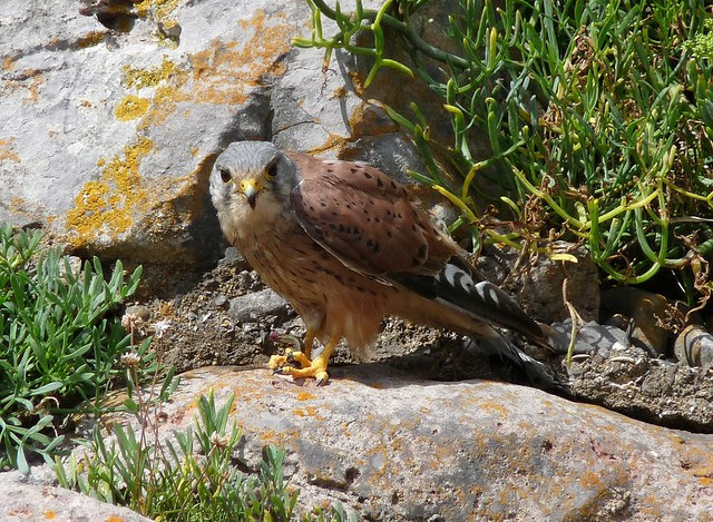 24983 - Kestrel, Oxwich Point