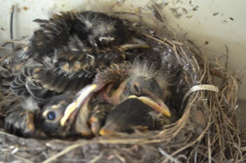 Baby robins Wednesday evening