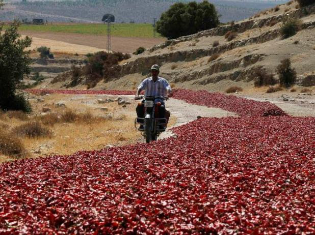 A man rides his motorcycle past hot peppers laid out on a road by farmers to dry under the sun in Kilis