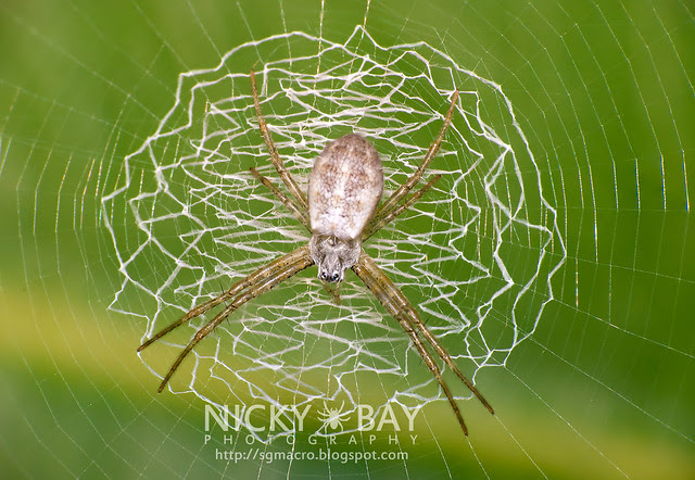 St Andrew's Cross Spider (Argiope sp.) - DSC_1307