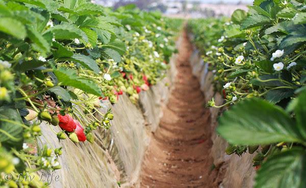 Carlsbad, California Strawberry Fields