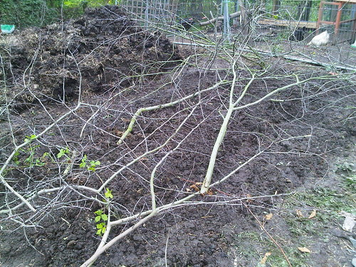 Pea sticks May 12