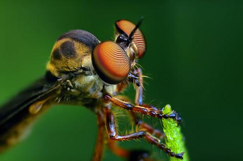 Strange Little Robber Fly - (Holcocephala fusca)