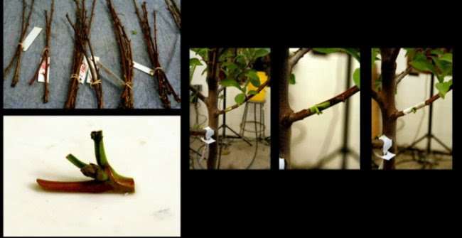 Дерево сорока фруктов (6 фото)