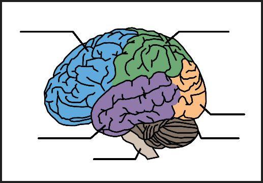 34 Unlabeled Brain Diagram - Wiring Diagram List