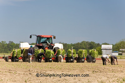 Planting Tobacco, Jones County, North Carolina
