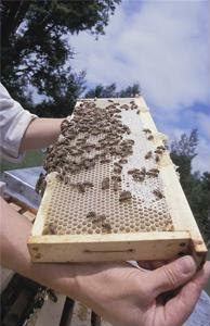 Decline in honey bee populations could threaten food supply chain