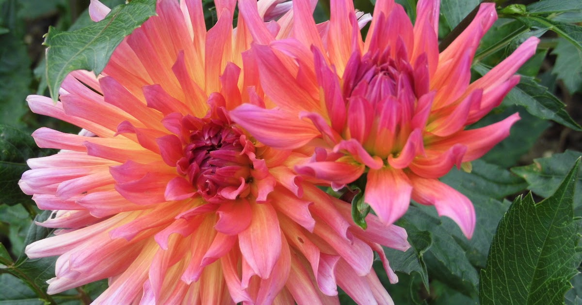Download Gambar Bunga Dahlia Berwarna