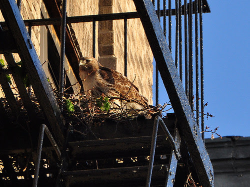 Female Washington Heights Red-Tail