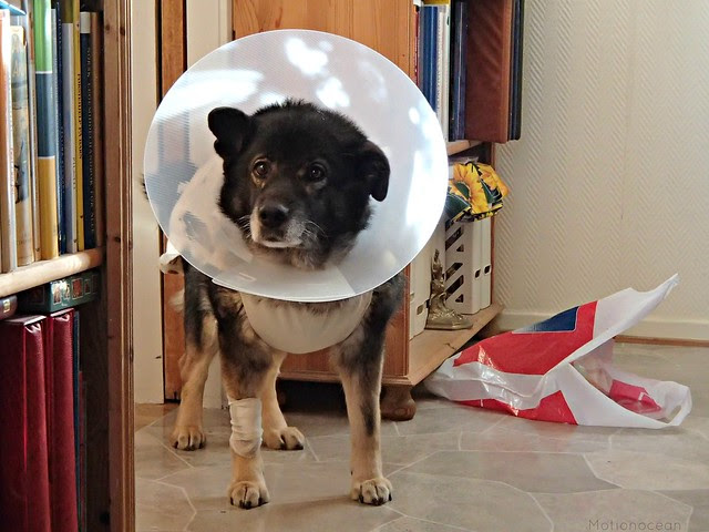 Freia, sick dog