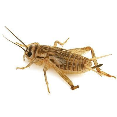 250 Crickets
