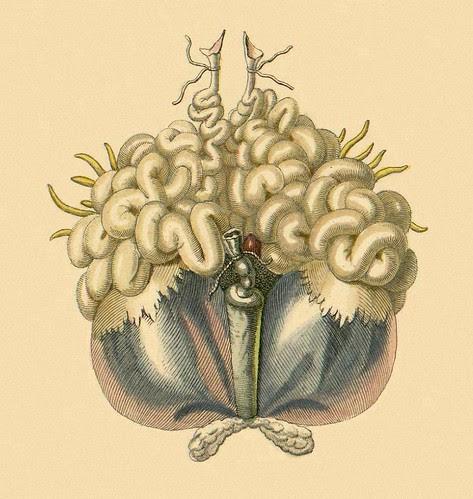 Frog internal organs b
