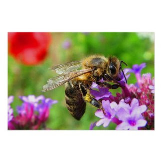 Honeybee on Verbena Posters
