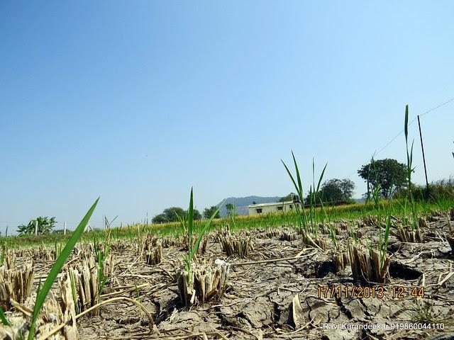 "Harvesting of rice - Visit Amit Rujuta Ventures' ""Gloria"" 1 BHK 1.5 BHK 2 BHK Flats at Nande near Hinjewadi on Pirangut Nande  Road Taluka Mulshi District Pune 412115"