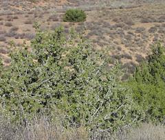 juniper scrub