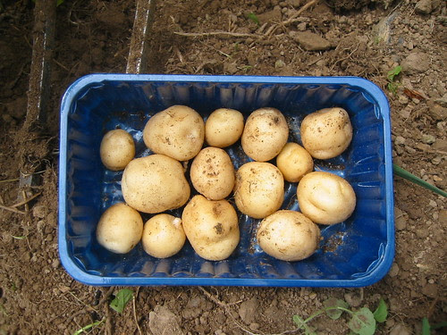 the first of the season new potatoes