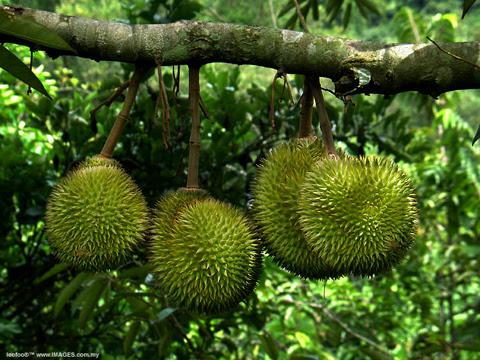 Sầu riêng là một trong những loại trái cây rất tốt cho sức khỏe