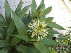 Guanyin bamboo (1)