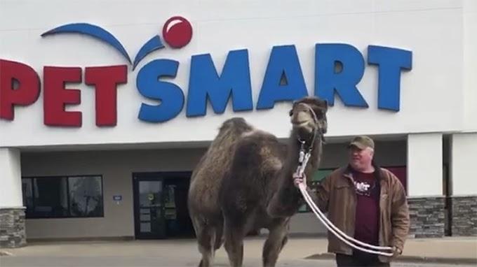 Un hombre pone a prueba la política de una tienda llevando a su camello de paseo