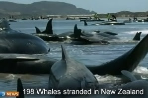 Stranded whales New Zealand