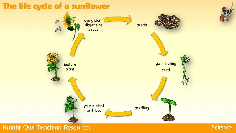 The Life Cycle of the Sunflower