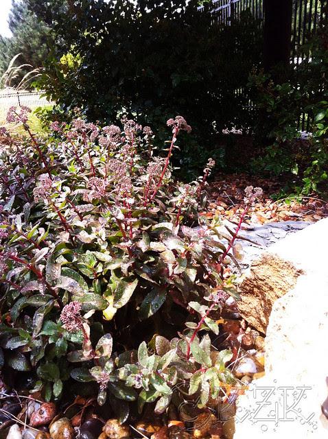 IMG_0335 Purple Emperor Sedum