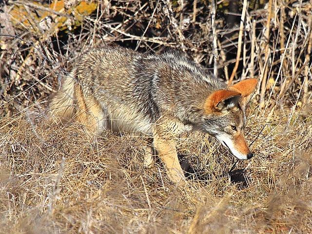 IMG_3831 Coyote, San Luis National Wildlife Refuge