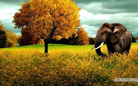 elephant   yellow field hd wallpaper  wallpapers