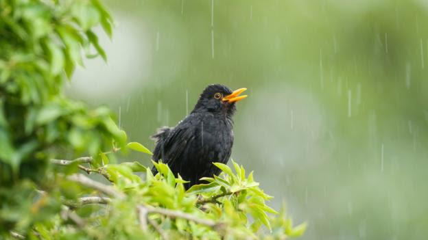 Fewer blackbirds seen in gardens this winter (credit: David Sewell / Alamy Stock Photo)