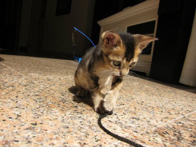 Miniature Rescue Kitten Gets a Second Chance at Life