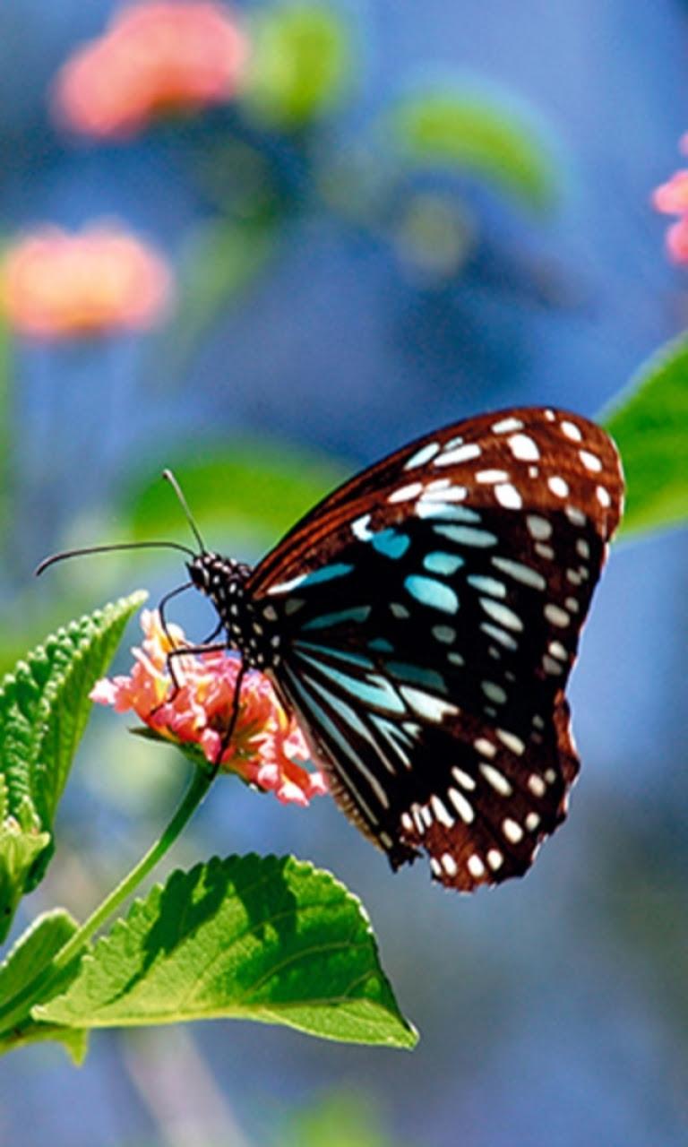 Free Butterfly Wallpaper and Screensavers - WallpaperSafari