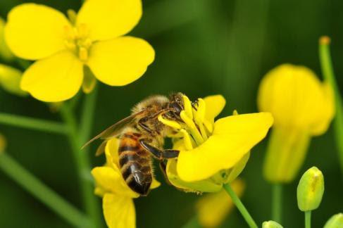 Una abeja obtiene néctar de una flor.