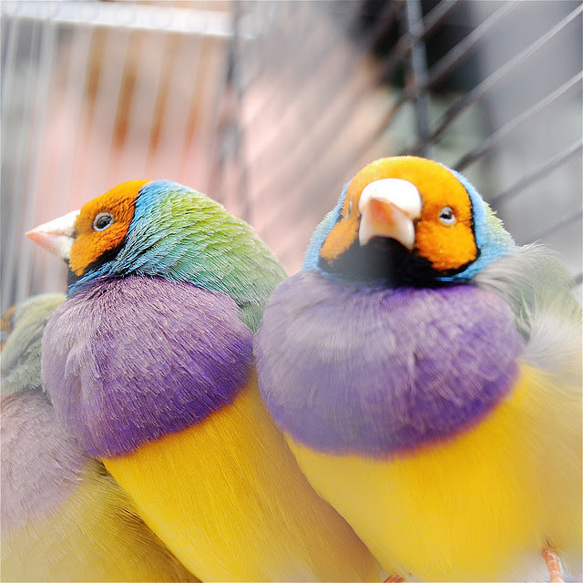 Perierga.gr - Γκούλντιαν, τα ομορφότερα πουλιά!
