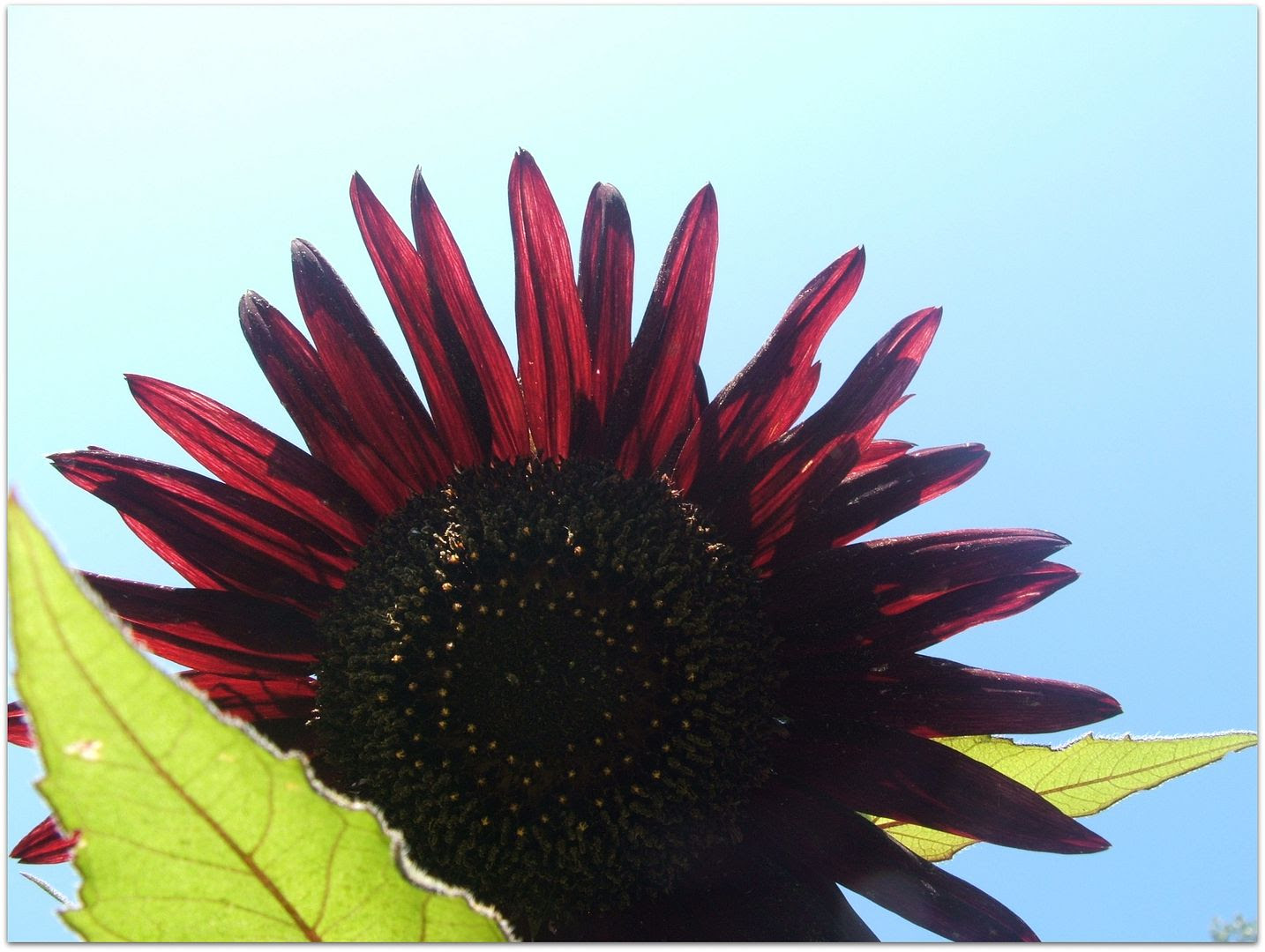 Prado Sunflowers by Angie Ouellette-Tower for godsgrowinggarden.com photo 012_zps78b6c63d.jpg