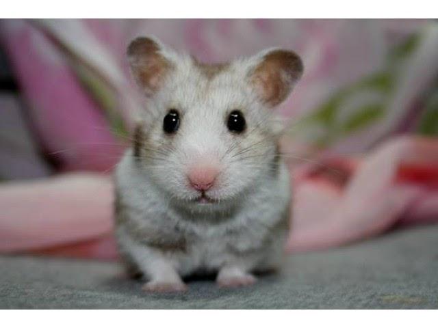De ce pierde în greutate hamsterul siberian când se apropie iarna?