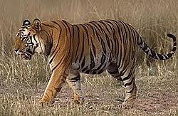 Harimau Benggala (P. tigris tigris) di Taman Negara Bandhavgarh, India.