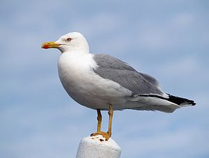 adult Yellow-legged Gull (Larus michahellis), ...