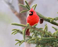 Northern Cardinal closeup