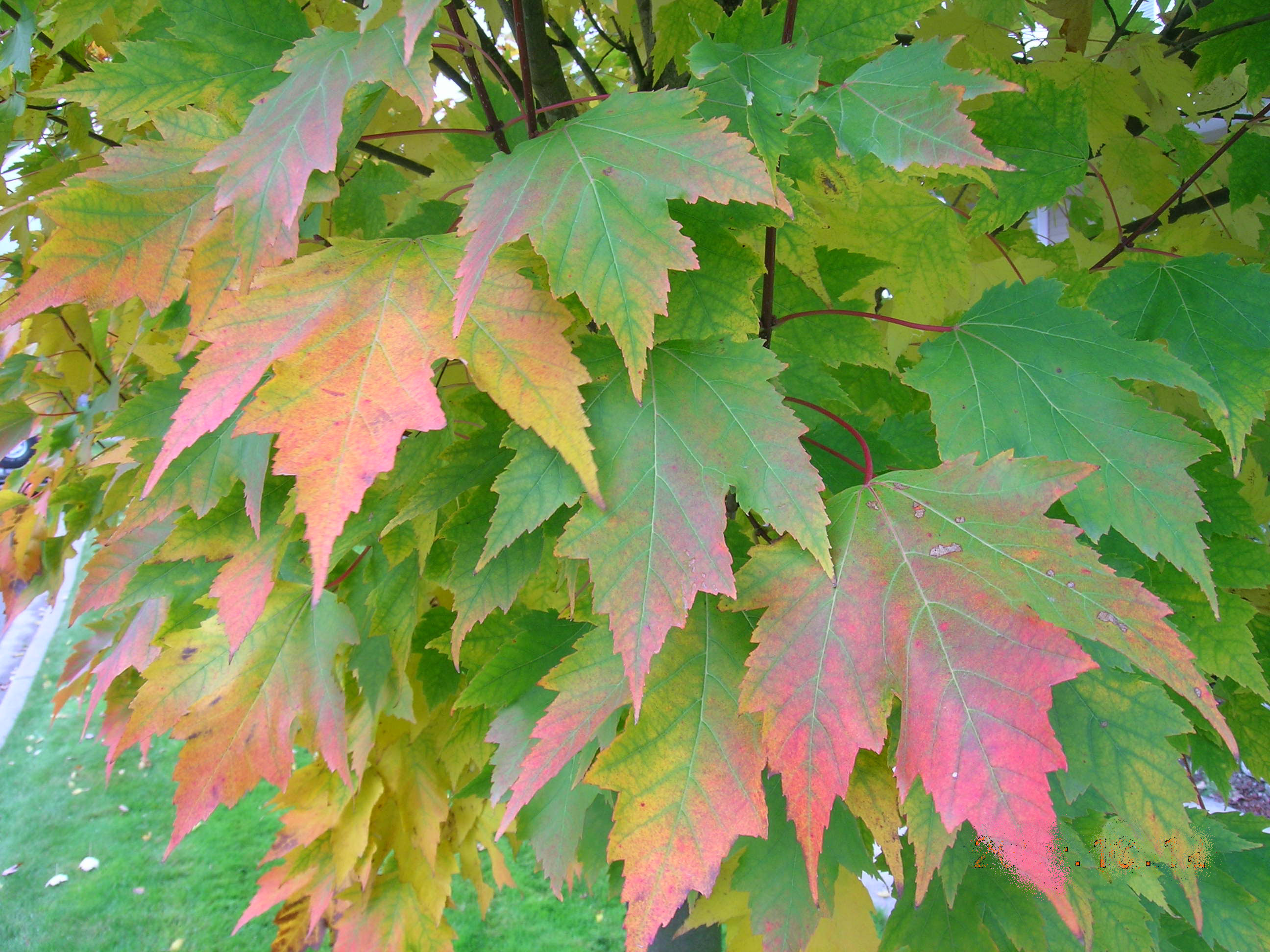 Tree Profile For The Karpick Red Maple Urban Forest Nursery Inc