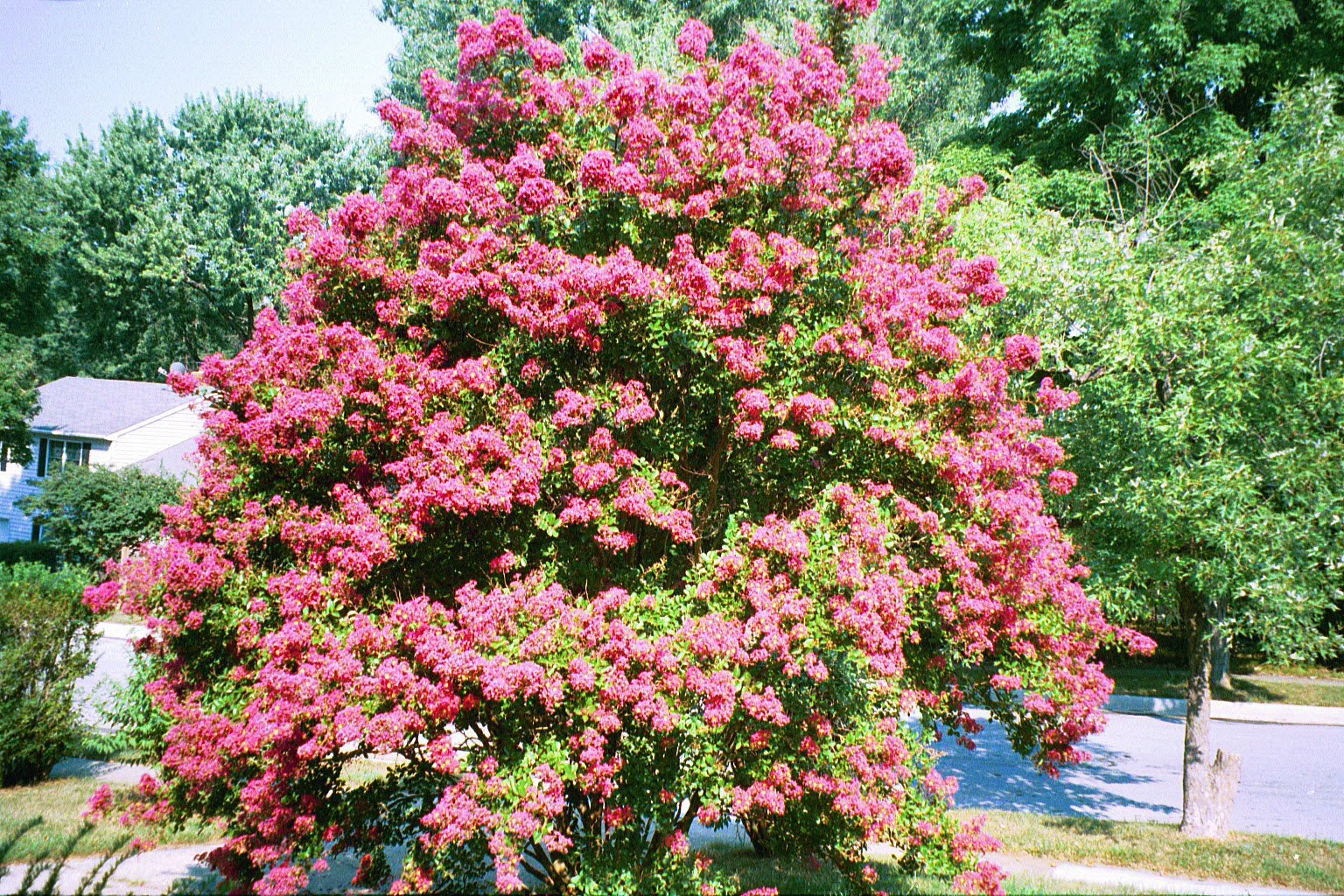 Growing greener in the pacific northwest december 2013 crepe myrtle nvjuhfo Choice Image
