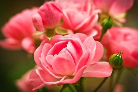 Wallpaper Pink Roses, Macro, Garden, HD, 4K, Flowers, #3072