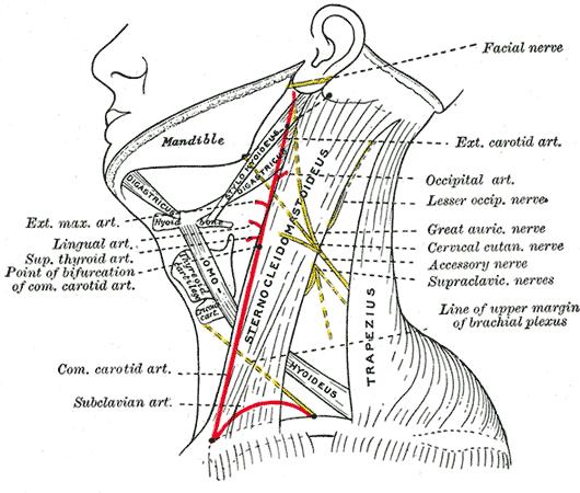 Nerve Point Of Neck Wikipedia